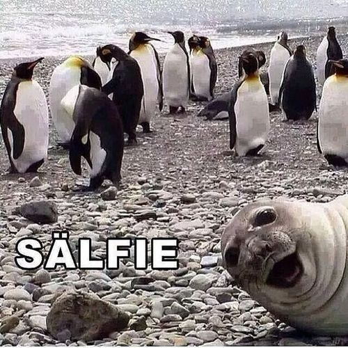 This is probably the best Selfie ever! Seal Sealfie Salfie Penguin Ice Water Funny SelfieRevolution Sand