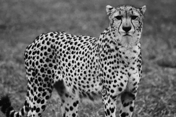 EyeEm Selects Animal Animal Themes Animal Wildlife Mammal Big Cat Animals In The Wild Feline One Animal Cat No People Spotted Vertebrate Day Cheetah Animal Markings Carnivora Focus On Foreground Portrait Leopard