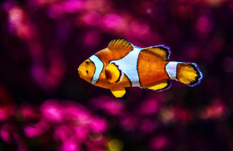 Clown fish or anemone fish at underwater Anemone Animal Animal Themes Animal Wildlife Animals In The Wild Clown Fish Fish Marine No People Sea Sea Life Swimming UnderSea Underwater Vertebrate Water