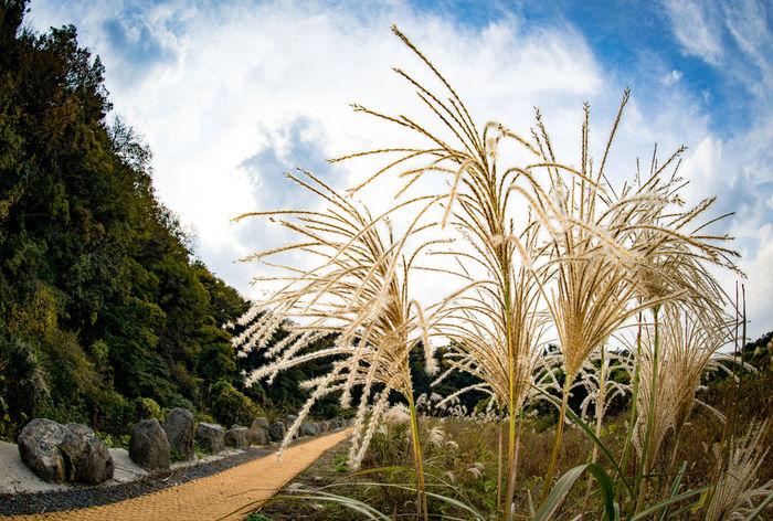 Beautiful autumn #JejuIsland #Korean #autumn #fall #love #reed #sunset #sun #clouds #skylovers #sky #nature #beautifulinnature #naturalbeauty #photography #landscape Beauty In Nature Day Field Nature No People Plant Sky