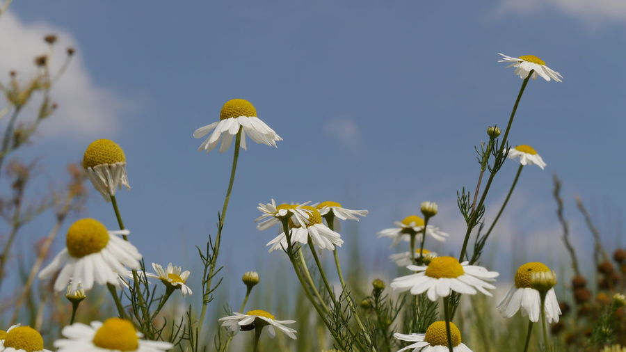 chamomile in bloom against blue sky Summer Views Chamomile Flowers Chamomile Field High Section Blue Sky Scenic View Countryside Landscape EyeEm Nature Lover EyeEm Gallery Flower Photography Flower Collection Close Up Photography Summer Vibes Flower Head Flower Yellow Blue Springtime Uncultivated Summer Sky Close-up Plant In Bloom Wildflower Blossom