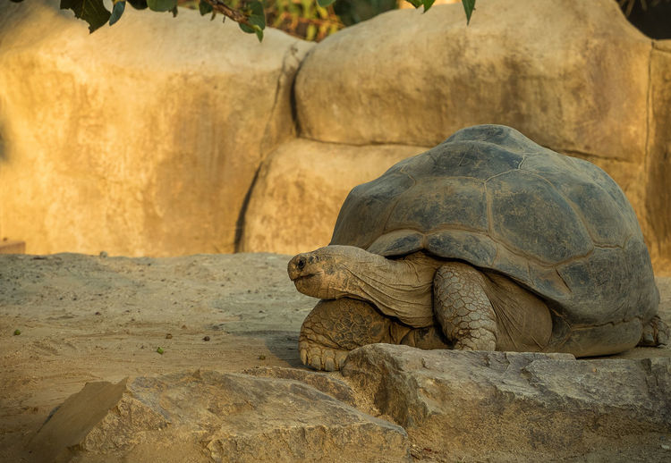 Galapagos giant tortoise on field