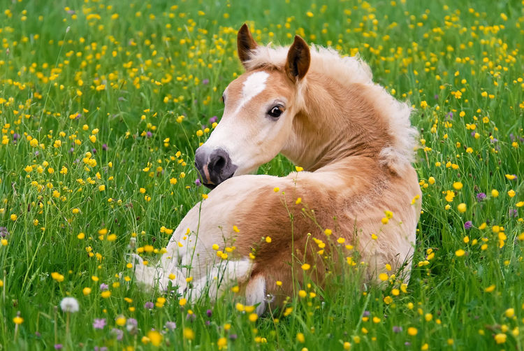 Cute Haflinger horse foal resting in a flowering meadow with buttercup flowers Foal In Field Funny Haflinger Looking At Camera Nature Pony Relaxing Young Buttercup Meadow Comfortable Cute Field Flower Flowerbed Foal Foal Resting Grass Haflinger Horse Horse Little Lying Down Meadow Nature Outdoors Resting
