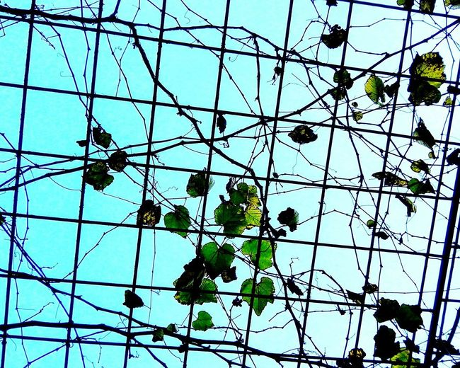 Sky Growth Day Low Angle View Tree Plant Eyemphotography Followme Eye Em Nature Lover Grapes 🍇 Grapes On The Vine Grapes Nature Photography Grapevines  Autumn