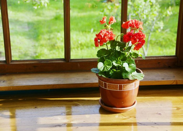 Window Flower Indoors  Wood - Material Beauty In Nature Greenhouse Red Flower Home Interior Home Showcase Interior Cantry Cantryside Flower Head No People Summer Vase Day Grass Green Color Windows Table Beauty Freshness Red