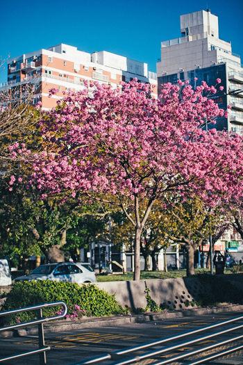 Pink flowering trees by road against buildings