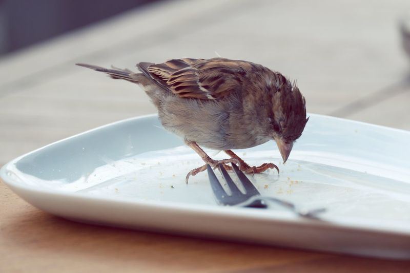 Close-up of sparrow on plate