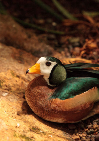African pygmy goose Nettapus auritus is found in Central to southern Africa and Madagascar Africa African Pygmy Goose Avian Beak Bird Farm Goose Madagascar  Nature Nettapus Auritus Wild Bird Wildbird Wildlife