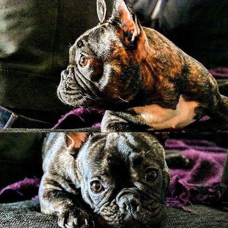 📷 Francebulldog Beautiful Gonamissher Niva Dog Picture KindHearted Tagsforlikes Followme Likes Color Pic Bulldog ThatEye Växjö  Lovley  Puppieseyes Pic Like4like Adorable Cute