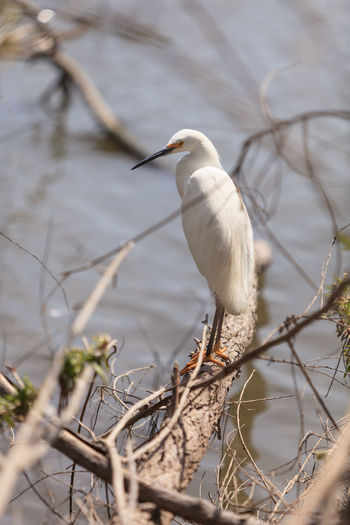 Great egret perching on tree over lake