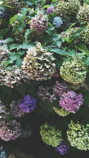 hydrangeas blossoms Nature Backgrounds Botanical Garden Botanical Species Gardens Backdrops Flowering Plants Purple Hydrangea Bunch Of Flowers Blooming Growing Fragility In Bloom Flower Head Plant Life