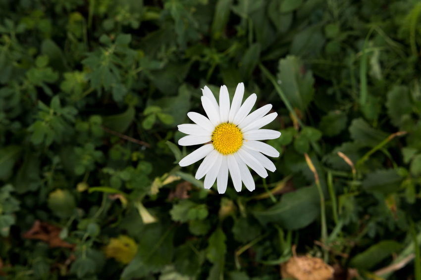 A flower blooms. Beauty In Nature Blooming Close-up Flower Flower Head Freshness Nature Petal White Color