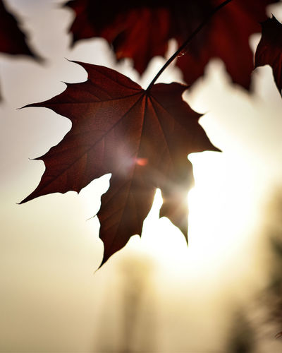 Exceptional Photographs Silhouette Sunrays EyeEm Nature Lover Poland Bokehlicious Bokeh Lights Bokeh Love Minimal Fragility Leaf Close-up Blooming Maple Leaf In Bloom Leaf Vein Change Leaves