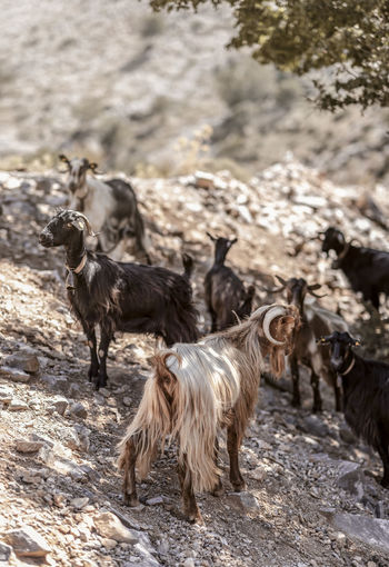 Goats Goat Animal Animal Family Animal Themes Animal Wildlife Animals In The Wild Day Domestic Domestic Animals Field Focus On Foreground Group Of Animals Herbivorous Herd Land Livestock Mammal Nature No People Outdoors Pets Rock Vertebrate Walking