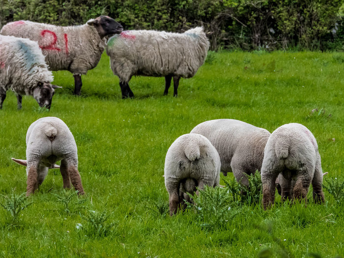 Little shaved sheep Mammal Group Of Animals Sheep Livestock Domestic Animals Animal Themes Animal Domestic Plant Grass Pets Field Agriculture Grazing Green Color Lamb Land Vertebrate Nature No People Outdoors Herbivorous Animal Family Herd Sheeps Sheep Farm Shave Shaved Sheep