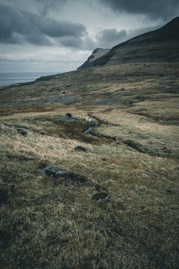 Roam through the Faroe Islands. Location: Faroe Islands Equipment: Fujifilm X-T2 + XF14 F2.8 R www.instagram.com/nils_leithold Animal Themes Beauty In Nature Day Grass Islands Landscape Mammal Mood Moody Mountain Mountains Nature No People Outdoor Outdoors Roam Scenics Schafe Sheep Sheeps Sky Tranquility Travel Two Wanderlust The Great Outdoors - 2017 EyeEm Awards