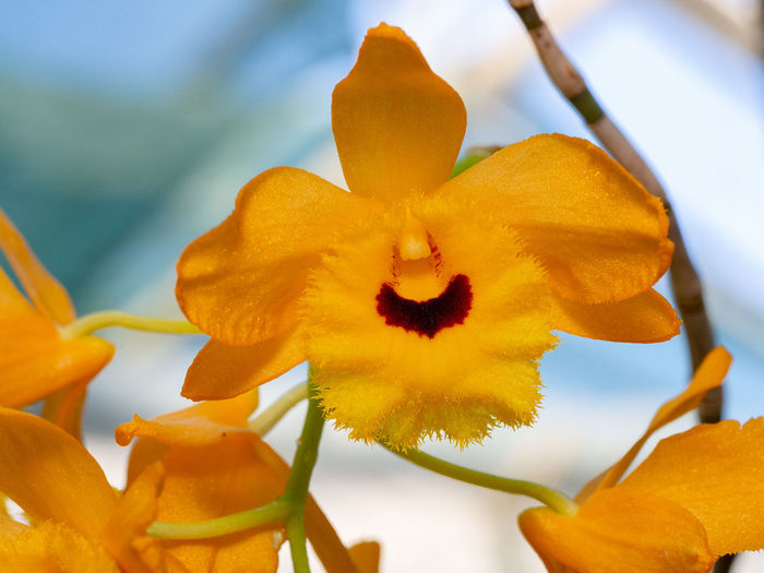Dendrobium fimbriatum Dendrobium Fimbriatum Dendrobium Orchid Orange Color Flower Flowering Plant Plant Nature Flower Head Beauty In Nature Fragility Vulnerability  Close-up Tropical Tropical Flower Botanical Garden In Bloom Blooming Botany