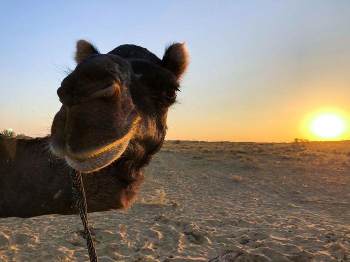 Desert India Sheepherd Travel Animal Themes Camel Day Domestic Animals Jaisalmer Mammal Nature No People Obrigado One Animal Outdoors Rajasthan Sand Sand Dune Sheep Sky Sunset Thar Desert