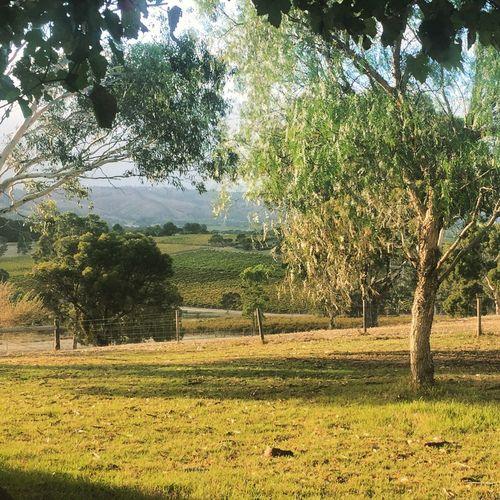 Vineyards  Australia Dawn Sunlit