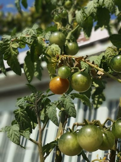 Chery Tomato Tomaten Tomatoes🍅🍅 Tomatoes Up Close Tomatos Tomaten Tomate Tree Branch Christmas Decoration Fruit Hanging Leaf Christmas Citrus Fruit Agriculture Close-up