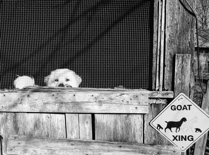 Livestock guardian dog Be. Ready. Text Communication Animal Themes Dog Wood - Material One Animal Day Looking At Camera Outdoors Farm Barn Black And White Friday The Week On EyeEm Black & White Blackandwhite Black And White EyeEm Best Shots Dogs Of EyeEm Great Pyrenees