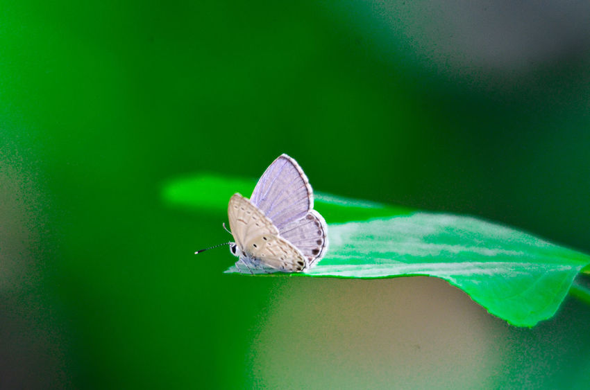 Animal Themes Animals In The Wild Beauty In Nature Butterfly Close-up Day Focus On Foreground Fragility Freshness Green Green Color Insect Leaf Nature No People One Animal Perching Scenics Selective Focus Tranquil Scene Tranquility Wildlife Zoology