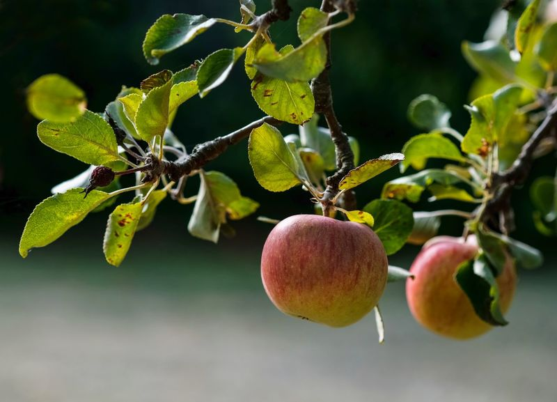 Apfelernte Beauty In Nature Branch Close-up Day Focus On Foreground Food Food And Drink Freshness Fruit Green Color Growth Healthy Eating Leaf Nature No People Outdoors Plant Plant Part Ripe Tree Wellbeing äpfel Am Baum