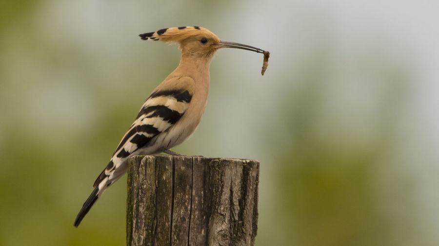 Hoopoe Perching On Wooden Post