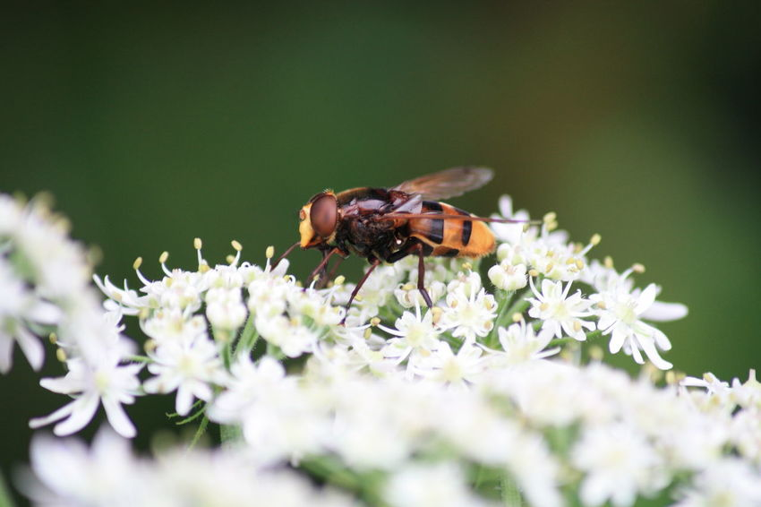 Animal Blossom Blüte Detail Focus Focus On Foreground Insect Insekt Natur Nature Tier Wesp Wespe