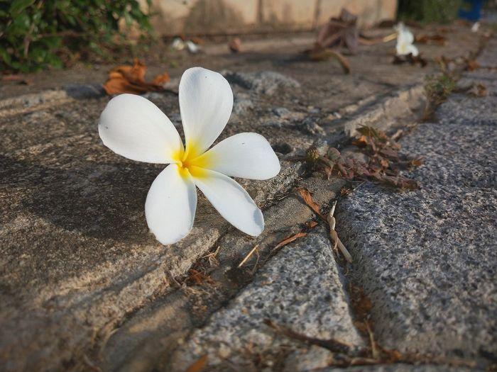 Close-up of white frangipani on plant