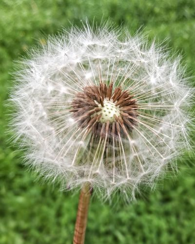 Dandelion Flower Fragility Dandelion Seed Nature Freshness Growth Softness Flower Head Focus On Foreground Beauty In Nature Plant Wildflower Uncultivated Day Field Outdoors Close-up Seed No People EyeEmNewHere