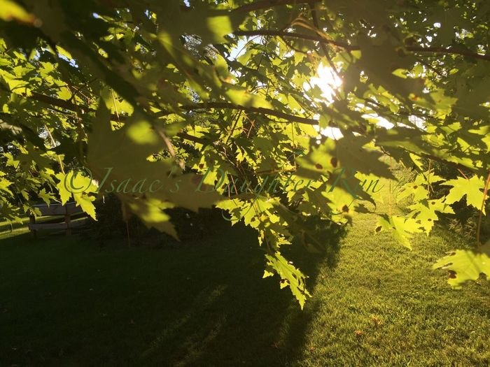 Saying GoodBye to Summer. Tree Close-up Branch Green Color Nature Plant Beauty In Nature Tranquility Outdoors Green Sunset Nature Unedited IPhone Only Majestic No People