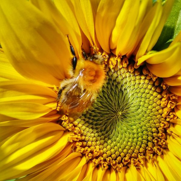 Honeybee on a sunflower Flower Flower Head Petal Pollen Fragility Nature Beauty In Nature Plant Stamen Full Frame Sunflower Yellow No People Close-up Freshness Backgrounds Growth Springtime Outdoors Day EyeEm Best Shots EyeEm Gallery Enhanced Photograph Nature Photography EyeEm Selects