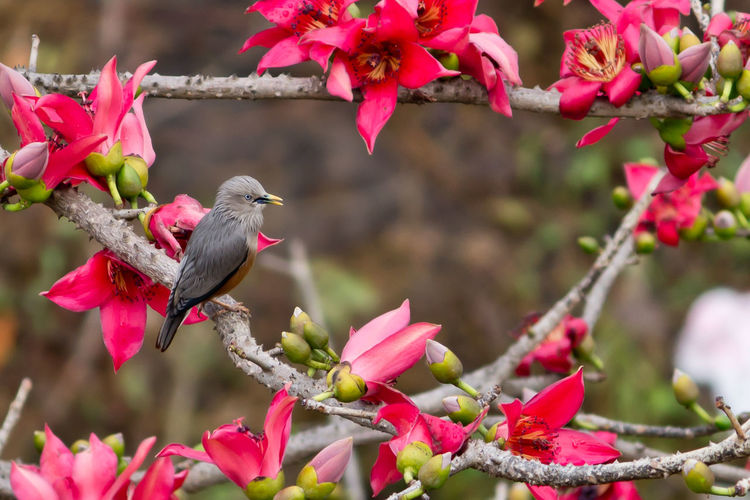 Chestnut-tailed starling perching by pink flowers on branch