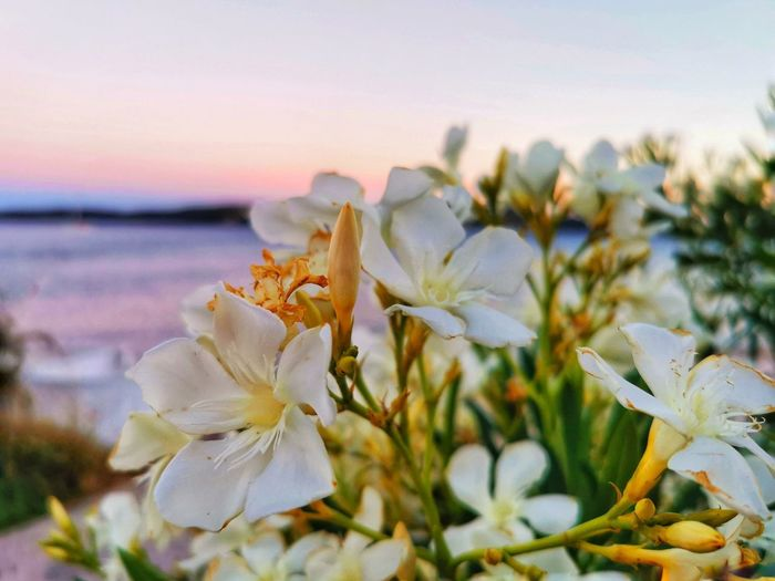 Close-up of white flowering plant against sky during sunset