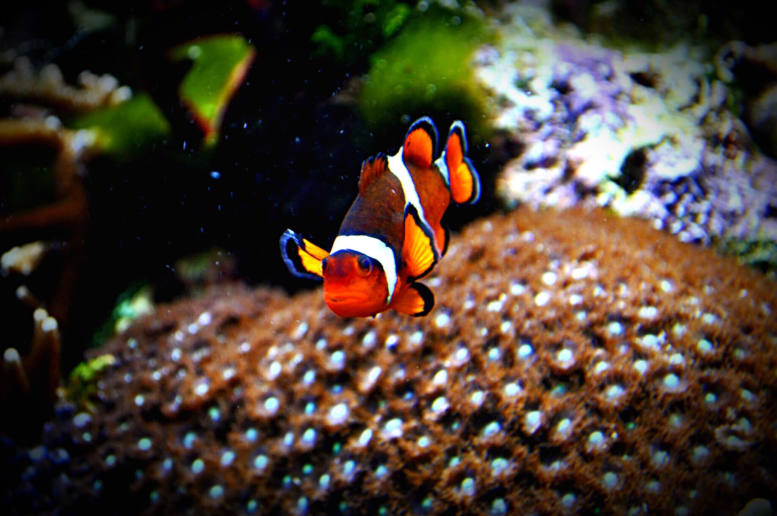 fish, underwater, clown fish, animal themes, swimming, sea life, animals in the wild, sea, undersea, water, aquarium, close-up, sea anemone, no people, day