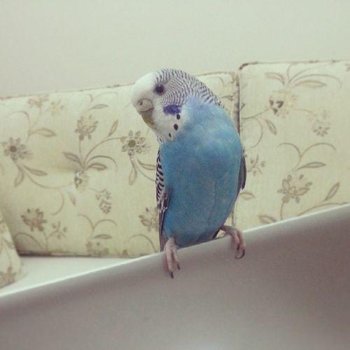 Kusumuzla muhabbet Bird Muhabbetkusu Sapsal