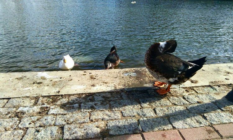 Duck fixing feathers after a swim. 😊 Ducks In Water Animal Themes Animals In The Wild No People Outdoors Nature Day Water Tranquility Ducks In The Lake
