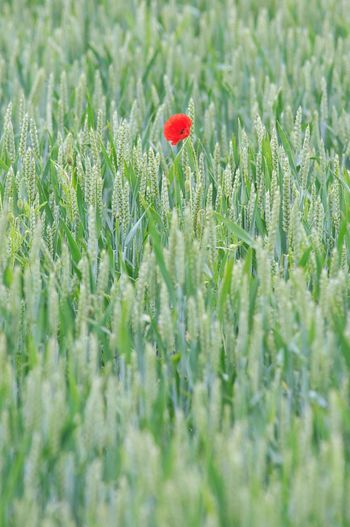 All by myself Summertime Poppy Flowers Cornfields