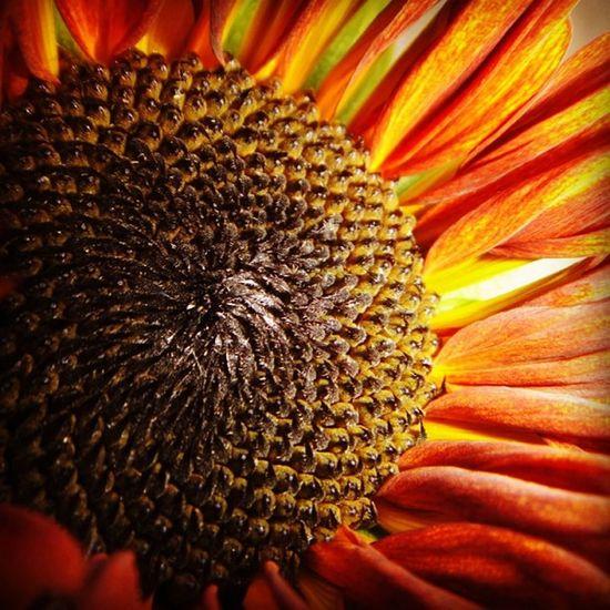 #sunflower #moulinrouge #garden #petal #bloom #nature Nature Garden Sunflower Like Bloom Petal Instadaily Instafollow Moulinrouge Ig_closeups