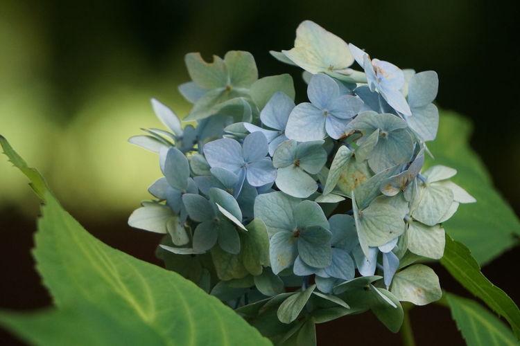 Close-up of purple hydrangea plant