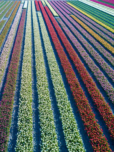 Tulips in bloom Bloom Colors Drone  Flora Flower Flying High Angle View Holland LINE Netherlands Perspective Spring The Netherlands Tulips Lost In The Landscape Perspectives On Nature