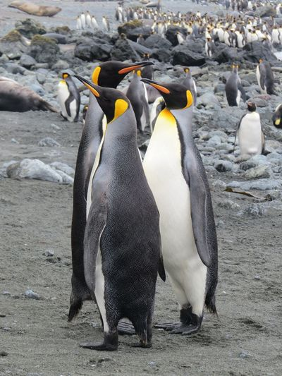 King Penguins Sub Antarctics Uncommon  Macquarie Island Wildlife King Penguin Penguin Colony Animals In The Wild Animal Beach Animal Wildlife Bird Group Of Animals Nature No People Animal Themes