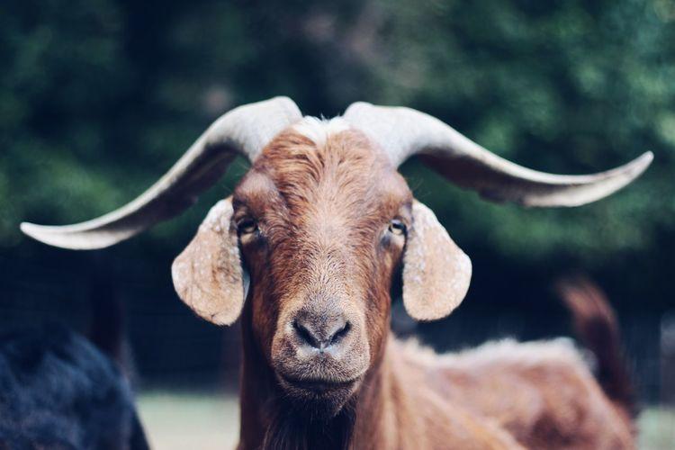 Close-up of goat looking at camera