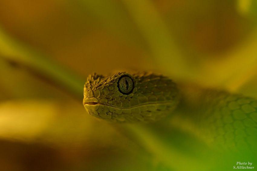 Bambus Viper Close-up Green Color Nature One Animal Reptile Rheinberg Snake Terrazoo Toxic Wildlife EyeEm Foto EyeEm Nature Lover