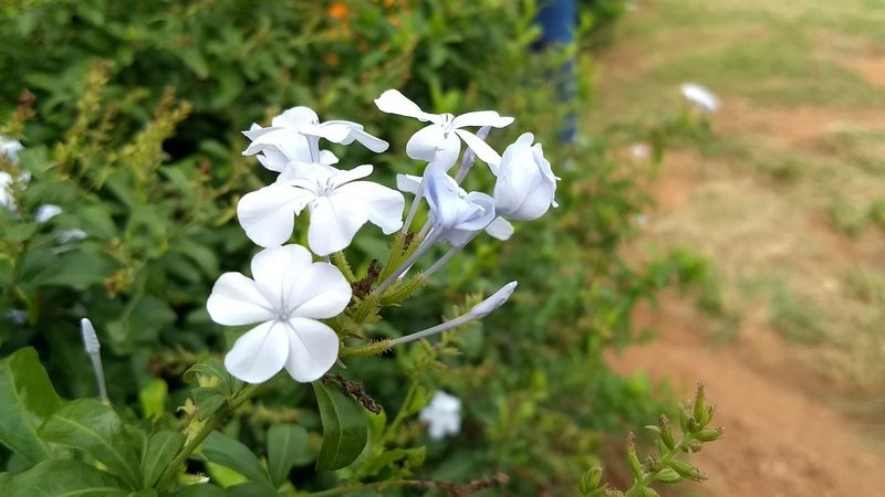 Flower Nature Growth Plant White Color Day Beauty In Nature Flower Head Fragility Outdoors Petal No People Close-up Freshness Tree