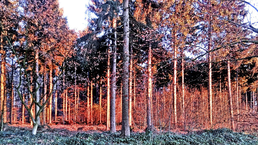Abendstimmung Im Herbstwald Autumn Evening Forest Autumn Forset Evening Evening Light Forset Herbstwald Nature No People Outdoors Red Light Rotfärbung Sunset Tree Treescape Wald