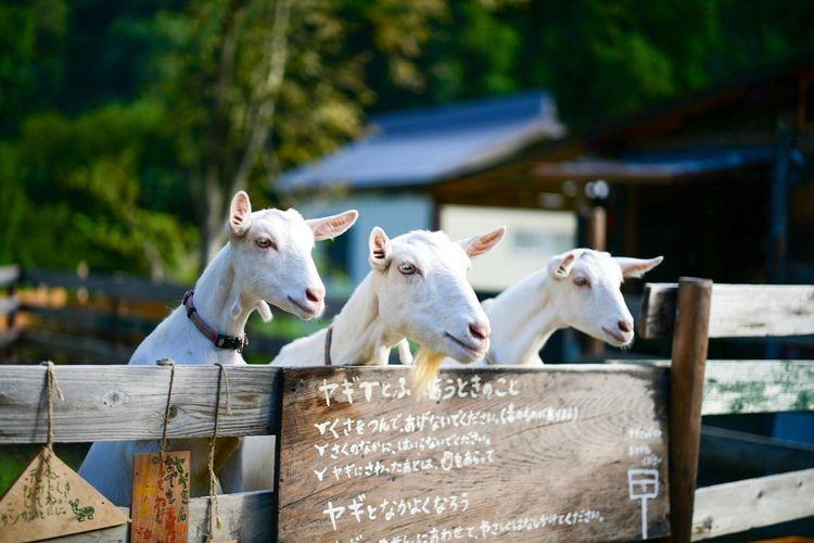 同じ姿勢で三匹のオトナ山羊がねだって来た。勢いを感じる。 Goat Animal Themes Mammal Animal Domestic Animals Domestic Pets Livestock Group Of Animals White Color Day No People Fence Nature