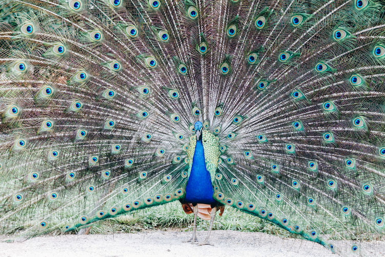 This peacock leaves in someone's house garden in a town in Minas Gerais, in Brazil, alongside with the chickens and ducks Animal Themes Animal Wildlife Animals In The Wild Beauty In Nature Bird Blue Close-up Day Fanned Out Feather  Multi Colored Nature No People One Animal Outdoors Peacock Peacock Feather Showing Tail Vanity