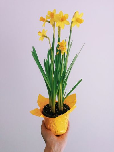 Cropped Image Of Person Holding Daffodil Potted Plant Against White Background